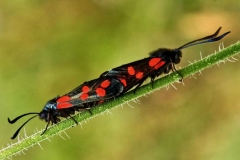 Six-Spotted-Burnet-Moths-Paired