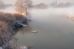 Swans-in-the-Mist-700pix