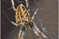 Orb-Garden-Spider-1