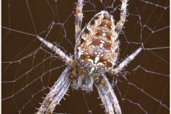 Orb-Garden-Spider-2