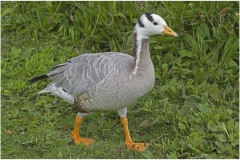bar-headed-goose-pensthorpe-aug-16