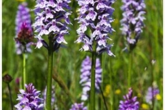 common_spotted_orchid