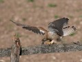 Kestrel-with-prey