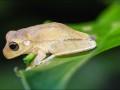 Rosenbergs-Tree-Frog
