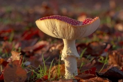 1-Fly-Agaric-cr