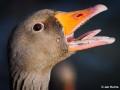 Goose-Portrait