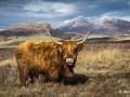 Highland-Cow-in-Skye