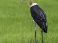 Lesser-Adjutant-Stork