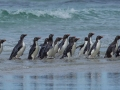 Rockhoppers-in-the-Falklands