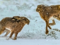 aggressive-hares-in-snow