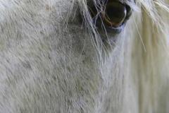 C_White-Horse
