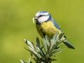 Blue Tit on bush, with Caterpillar_