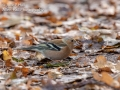Chaffinch Male, in Autumn Leaves