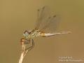 Dragonfly (taken in Siller)