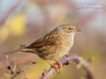 Dunnock, Upton Warren, December 2018