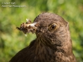 Female Blackbird with food
