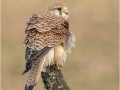 Female Kestrel with Ruffled Feathers