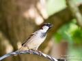 Garden Sparrow Male