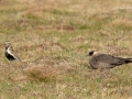 Golden Plover and Arctic Skua