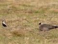 Golden Plover and Arctic Skua