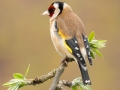 Goldfinch on budding Laburnum_