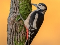 Great Spotted Woodpecker - Autumn 2018