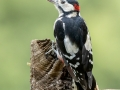 Great Spotted Woodpecker Male on Fence