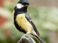 Great Tit, Male, on metal post