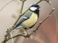 Great Tit on Laburnum_