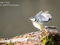 Great Tit wings open