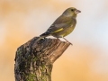 Greenfinch on perch