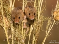 Harvest Mice pair, Love in a Mist