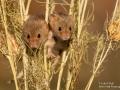 Harvest Mice pair, Love in a Mist
