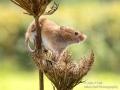 Harvest Mouse_