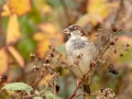 House Sparrow Male in Autumn_