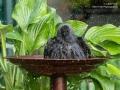 Jackdaw in birdbath