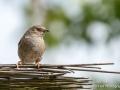Juvenile Fledgling House Sparrow