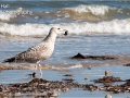 Juvenile Yellow-Legged Gull