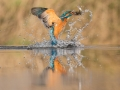 Kingfisher diving_