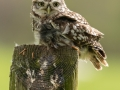 Little Owl on post