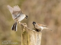 Male Reed Buntings interacting_