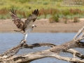 Osprey taking off with catch_