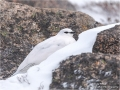 Ptarmigan Male Jan 2018
