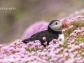 Puffin in Pink Sea Thrift
