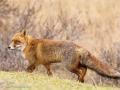 Red (Dune) Fox_