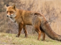 Red Fox on Hilltop