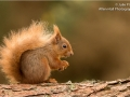 Red Squirrel_