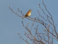 Redwing in treetop