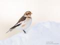 Snow Bunting_