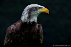 Alaskan-Bald-Eagle-c